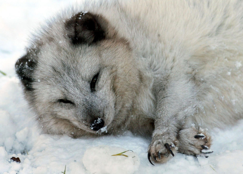 fishermen attempt arctic fox rescue
