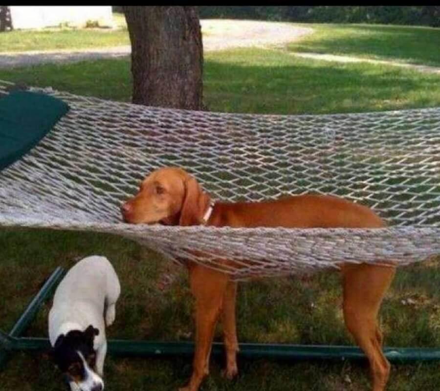 dog-in-hammock-52180-35903-14054.jpg