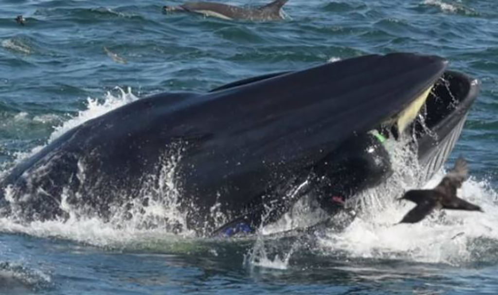 Diver Finds Himself In Whale's Mouth