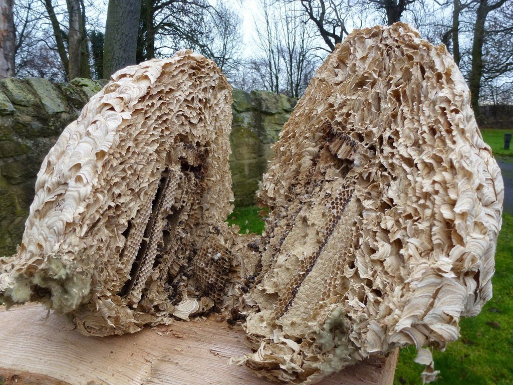 wasp nest cut in half