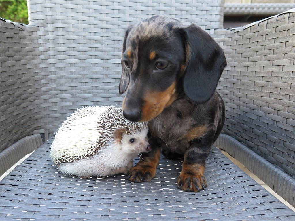 dacgshund