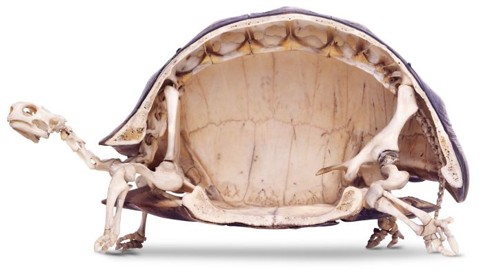 tortoise skeleton cut in half