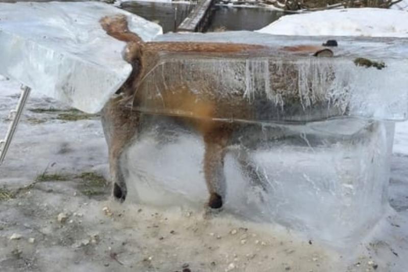 ap-frozen-fox-mem-170112_12x5_