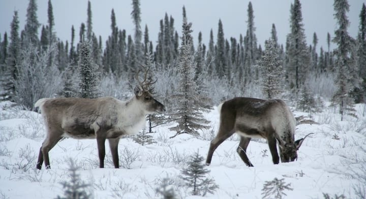 caribou-016