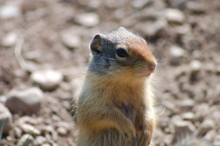 glacier_park_gopher_6_by_kats_