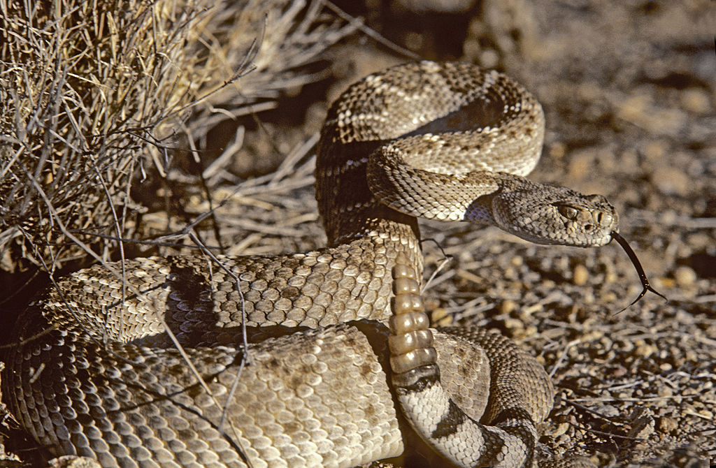 western diamondback rattlesnake in defensive coil, sensing with tongue