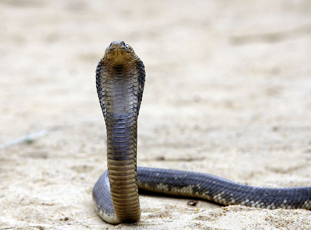 egyptian cobra snake named tolba