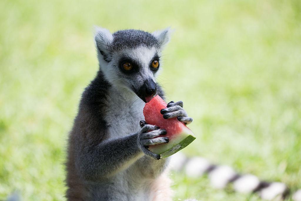 Lemur Stolen