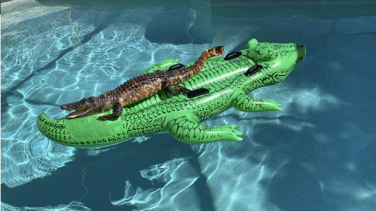 alligator chilling on pool toy of himself