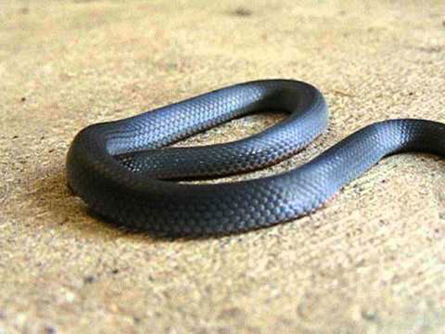 blue-belly-black-snake