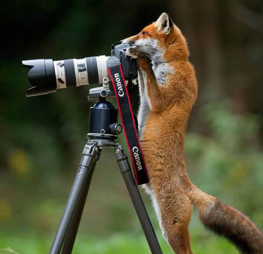 a fox peers over a camera