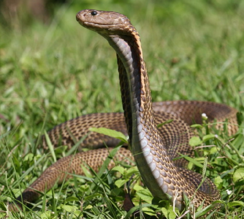 philippine cobra deadliest snakes