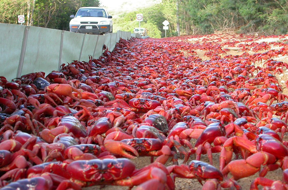 Christmas Island red crabs invide the side of a street