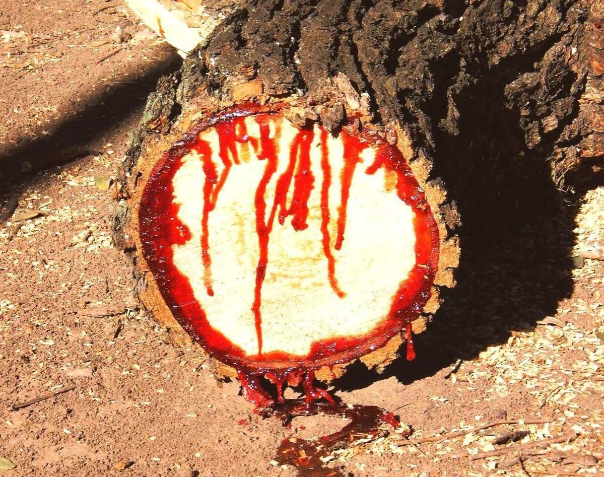 Cut and bleeding Bloodwood tree