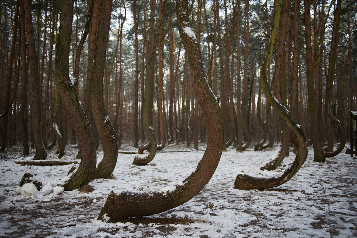 Curved shaped pine trees are seen at the Crooked Forest in Dolna Odra, Gryfino, Poland