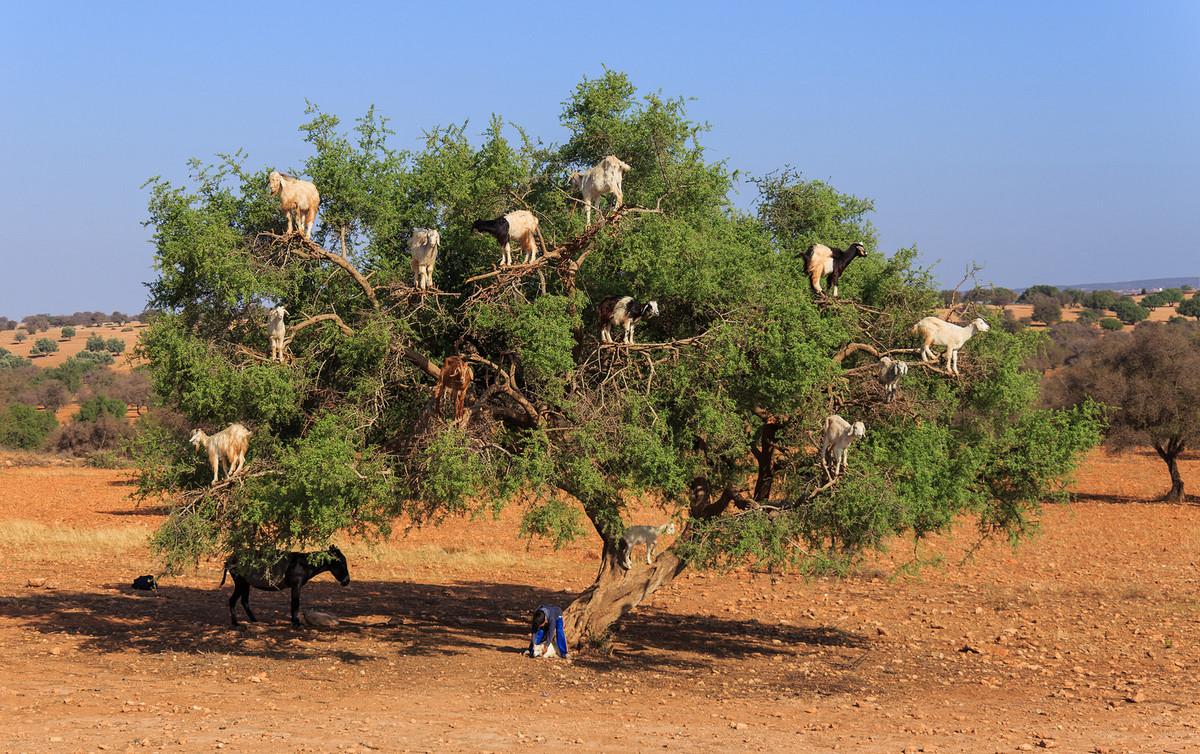 Moroccan goats climbing an argan tree
