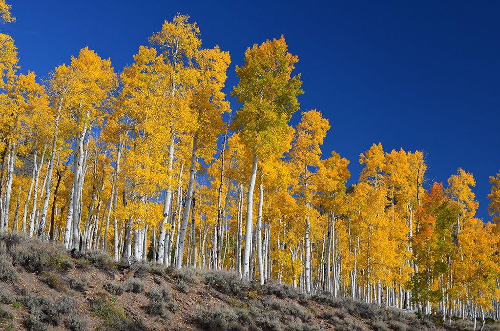 Quaking Aspen isn't many trees, but one large tree connected by roots underground