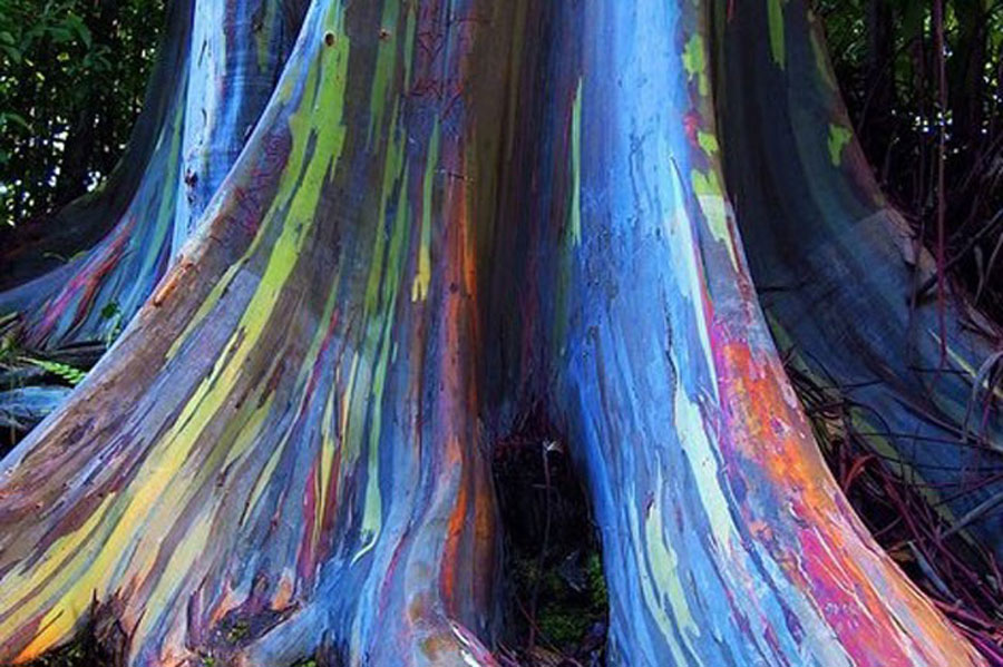 Rainbow eucalyptus tree trunk in Indonesia