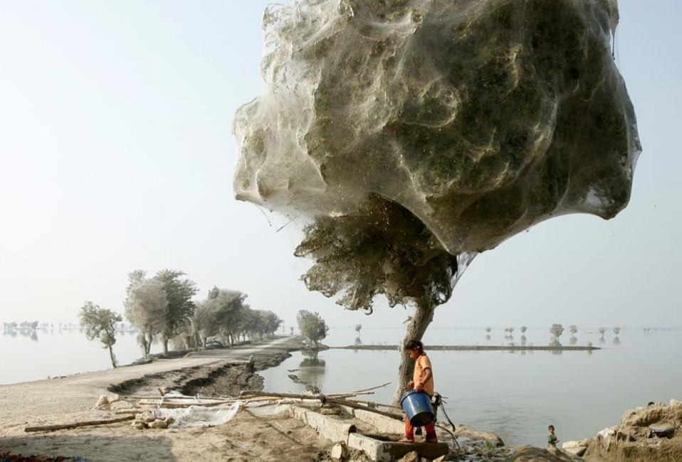 cocooned trees carrying millions of spiders in Pakistan