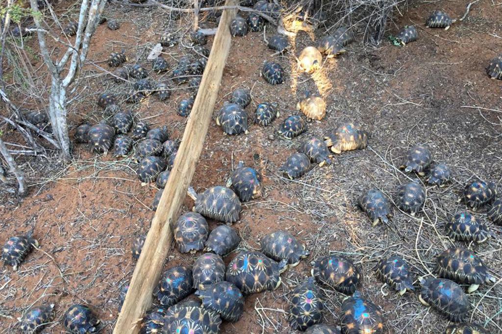 Rare Tortoise