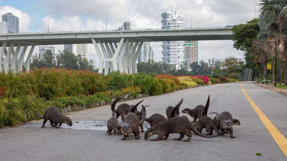 families of otters roam the streets of singapore