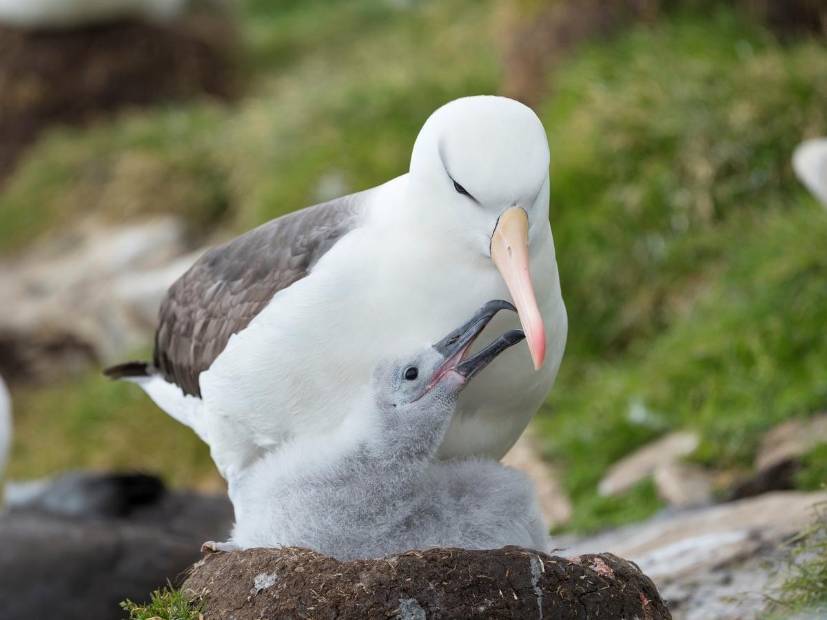 Adult feeding chick on tower shaped nest on Albatross Island
