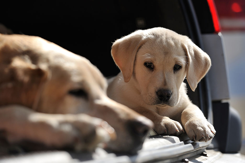 GettyImages-155696344-29134-94064 lab retrievers dont leave alone