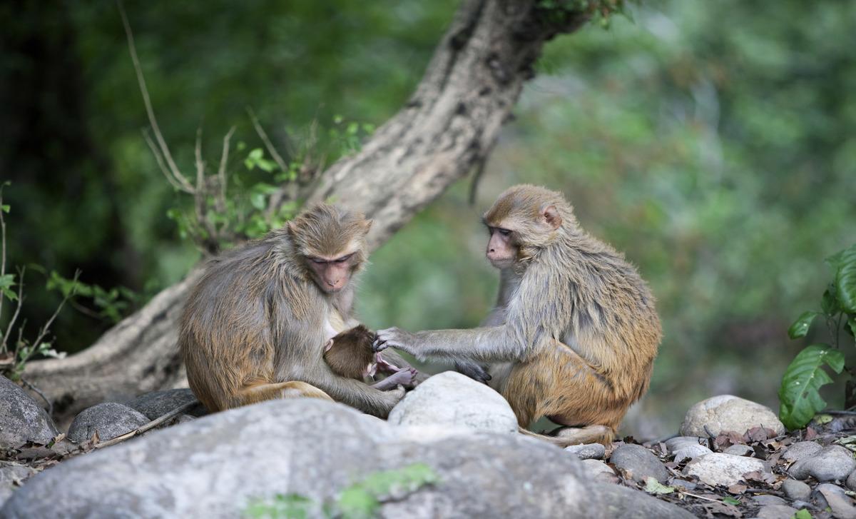 Rhesus Macaques, Corbett National Park, Uttarakhand, India.