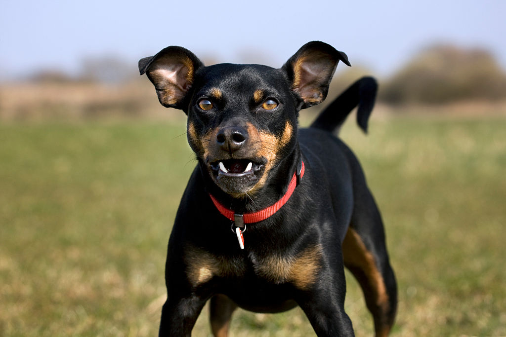 GettyImages-539294056-82700-79658 manchester terrier dog snarling at camera