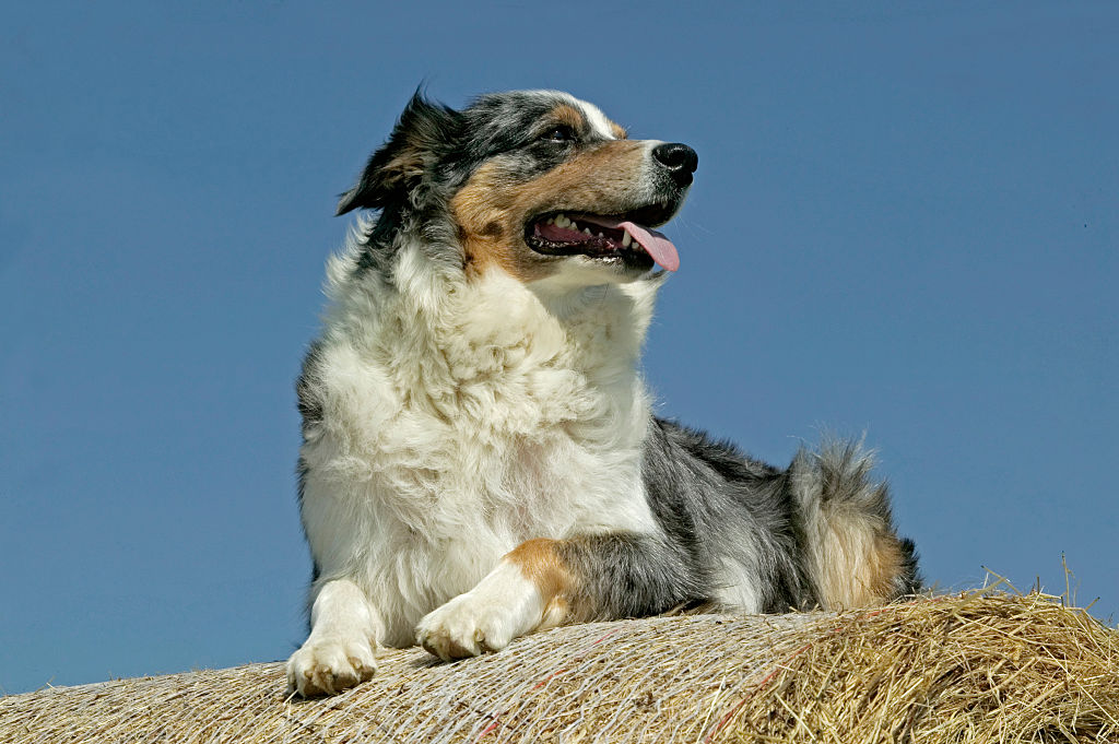 GettyImages-578260612-54712-81885 australian shepherds need love