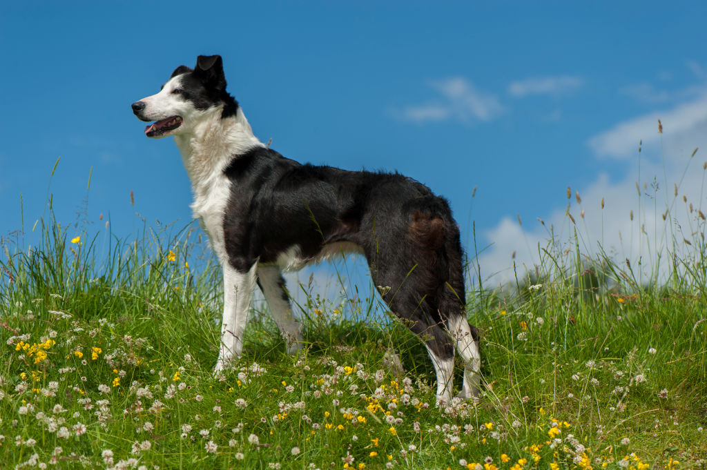GettyImages-687028160-35699-41612 border collies need to be active