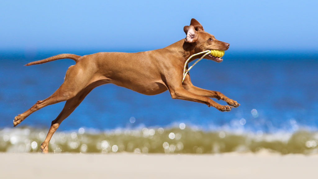 GettyImages-977359294-87300-94819 vizslas breed quite sporting