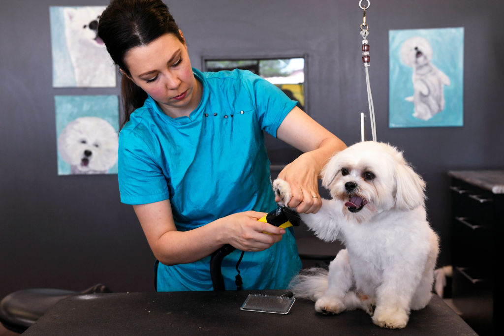 GettyImages-983300904-23202-51248 bichon frises getting nails trimmed