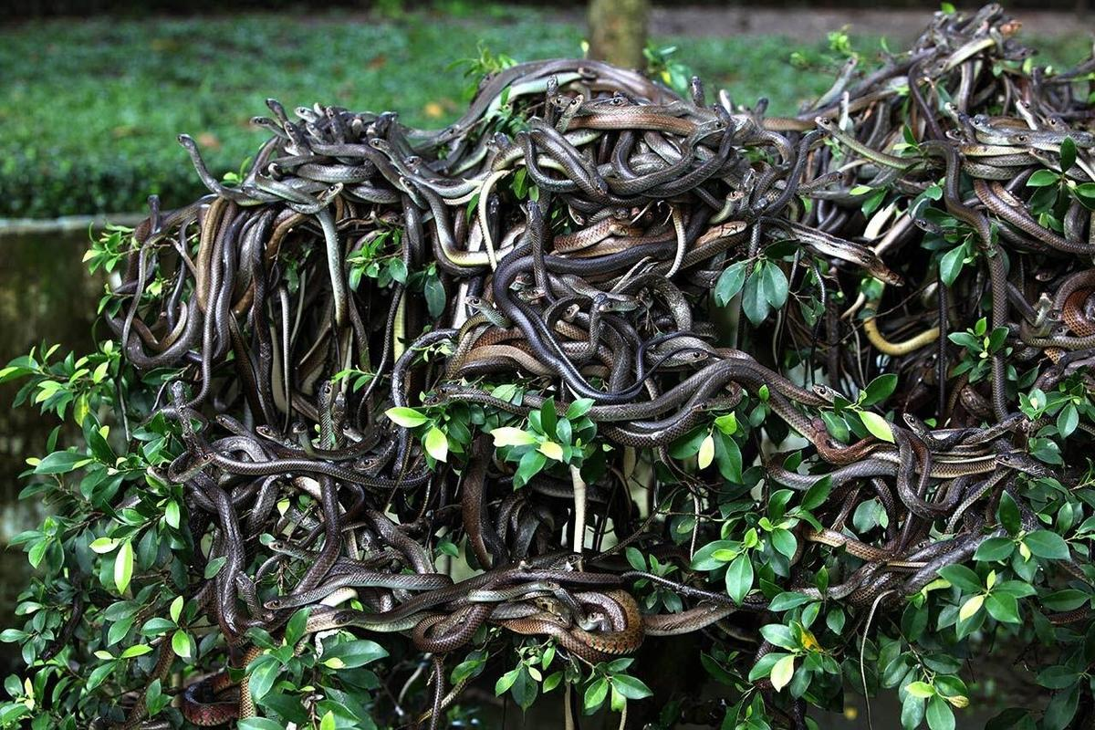 golden lancehead pit vipers swarming a bush on Snake Island off the coast of Brazil