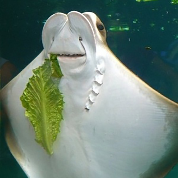 stingray-salad