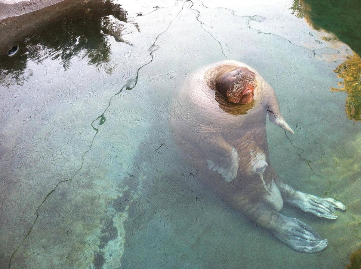 walrus-being-weird