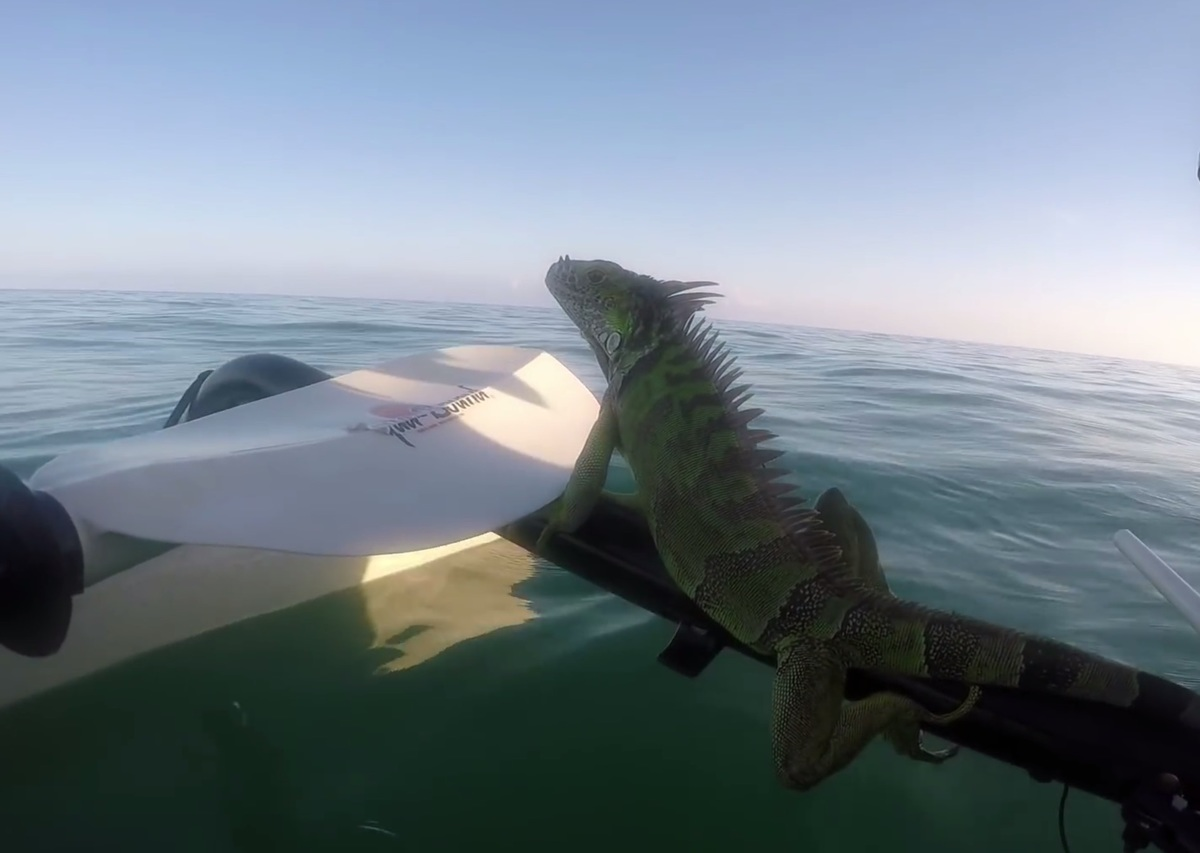 the iguana was perched on the end of a kayak