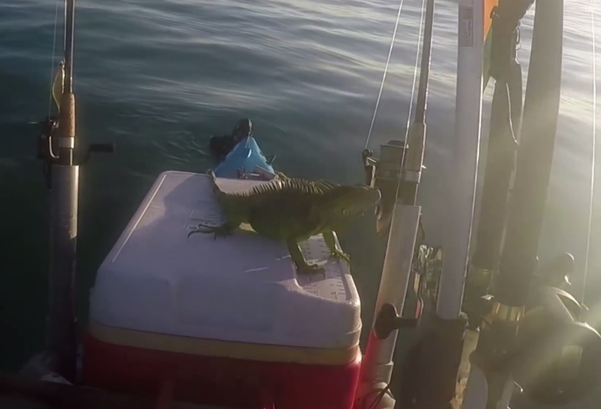 iguana on the cooler in the kayak