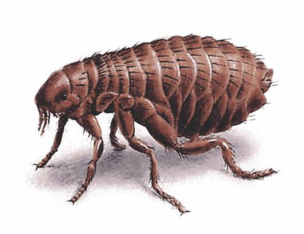 fleas-98609