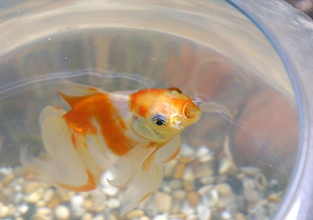 goldfish-bowl-banned-51392725