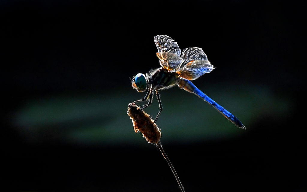A dragonfly rests its tentacles on the top of a plant.