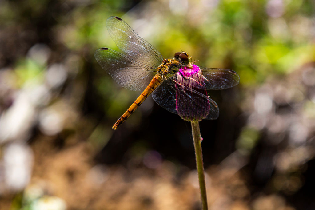 A dragonfly buries its mouth into a pink flower.