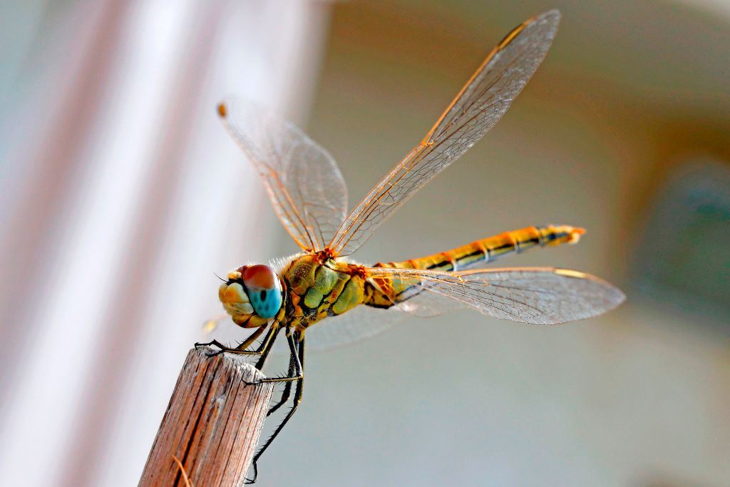 A dragonfly perches on a small piece of wood.