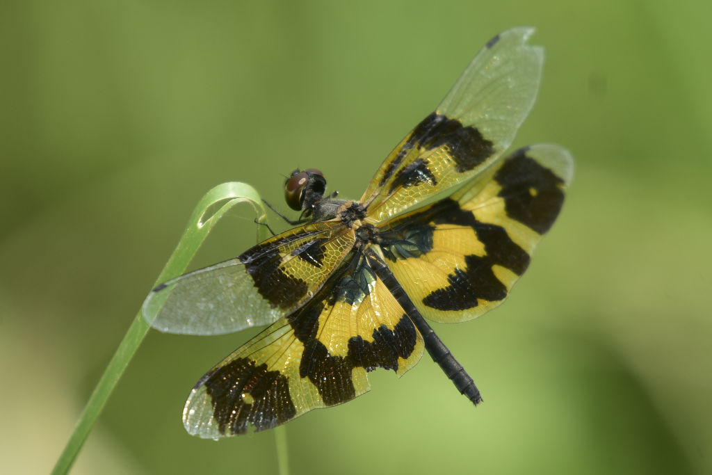 A black and yellow dragonfly spreads its wings while holding onto a plant.