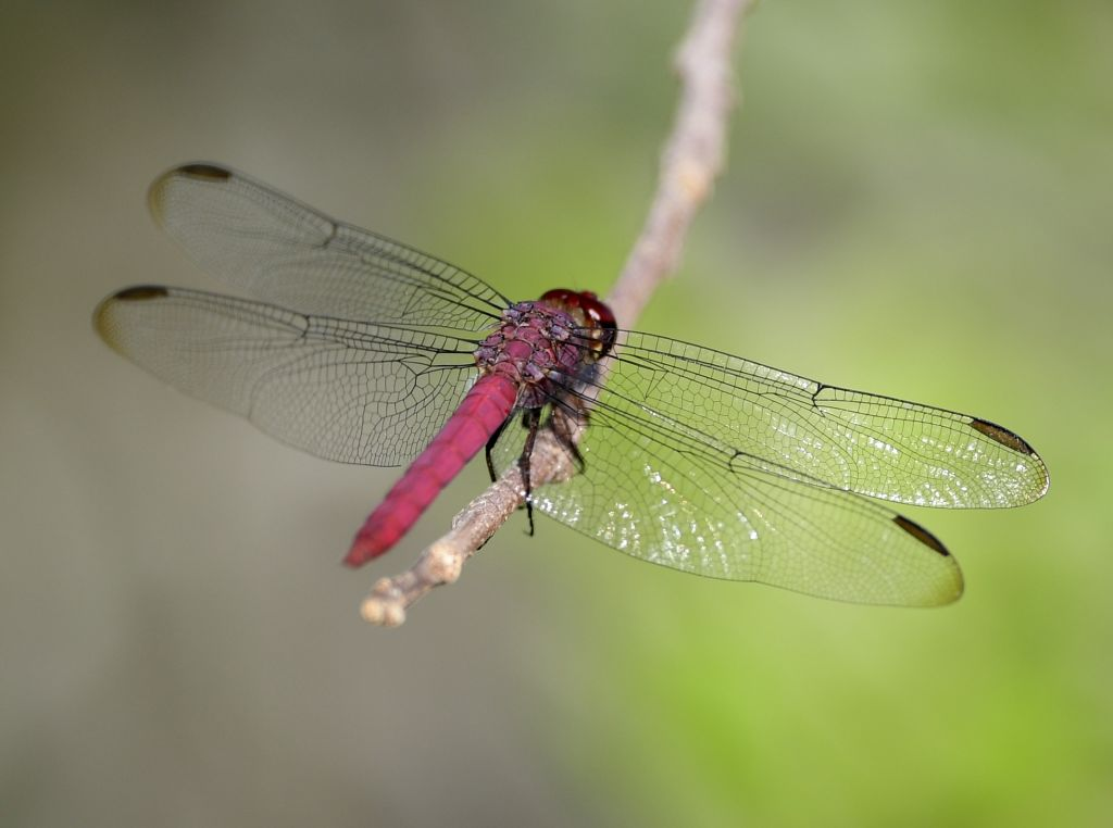 A dragonfly clings to the tip of a plant.