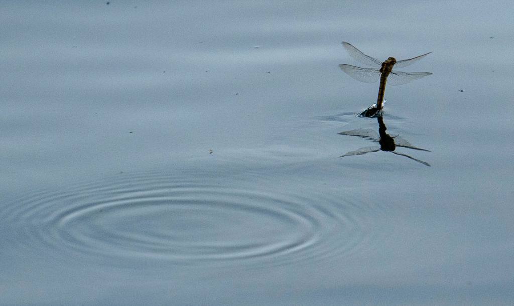 A dragonfly tips its tail into a body of water as it flies over it.