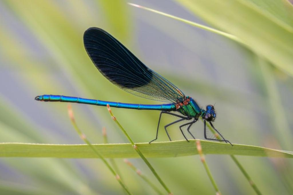 A blue dragonfly crawls along a long, narrow leaf.