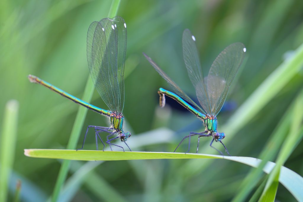 Two dragonflies perch on a leaf.