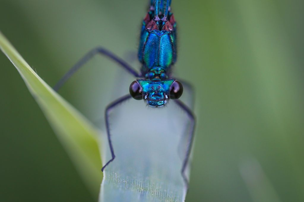 A closeup shot of a blue dragonfly shows its face looking directly into the lense.