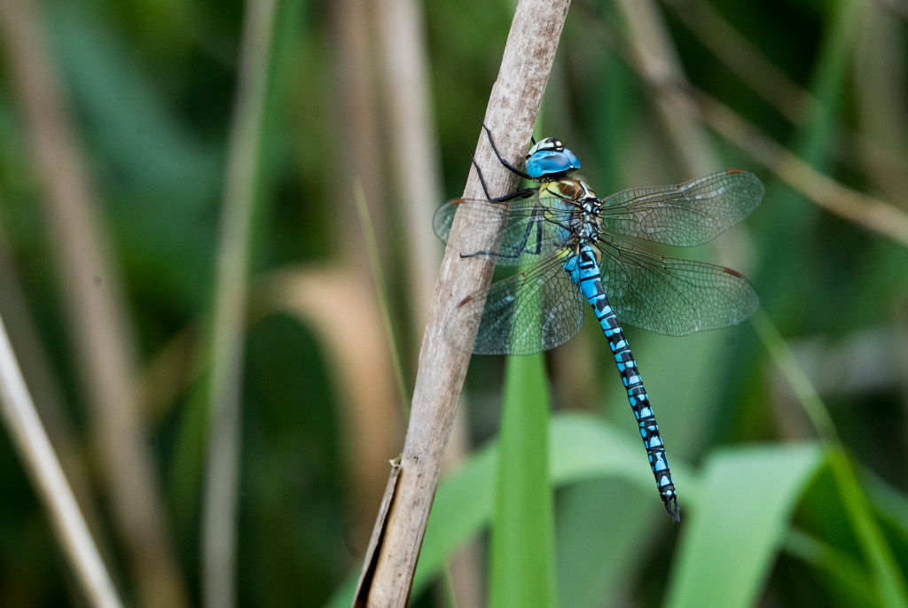 A blue dragonfly crawls up a thin branch.